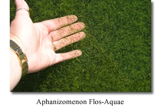 Image result for Aphanizomenon flos-aquae