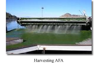 Aphanizomenon Flos-Aquae Klamath Valley Botanicals